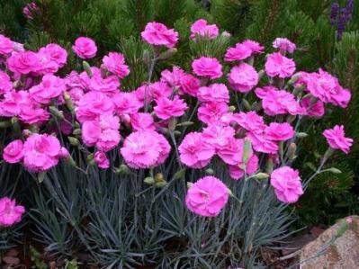 dianthus-tickled-pink